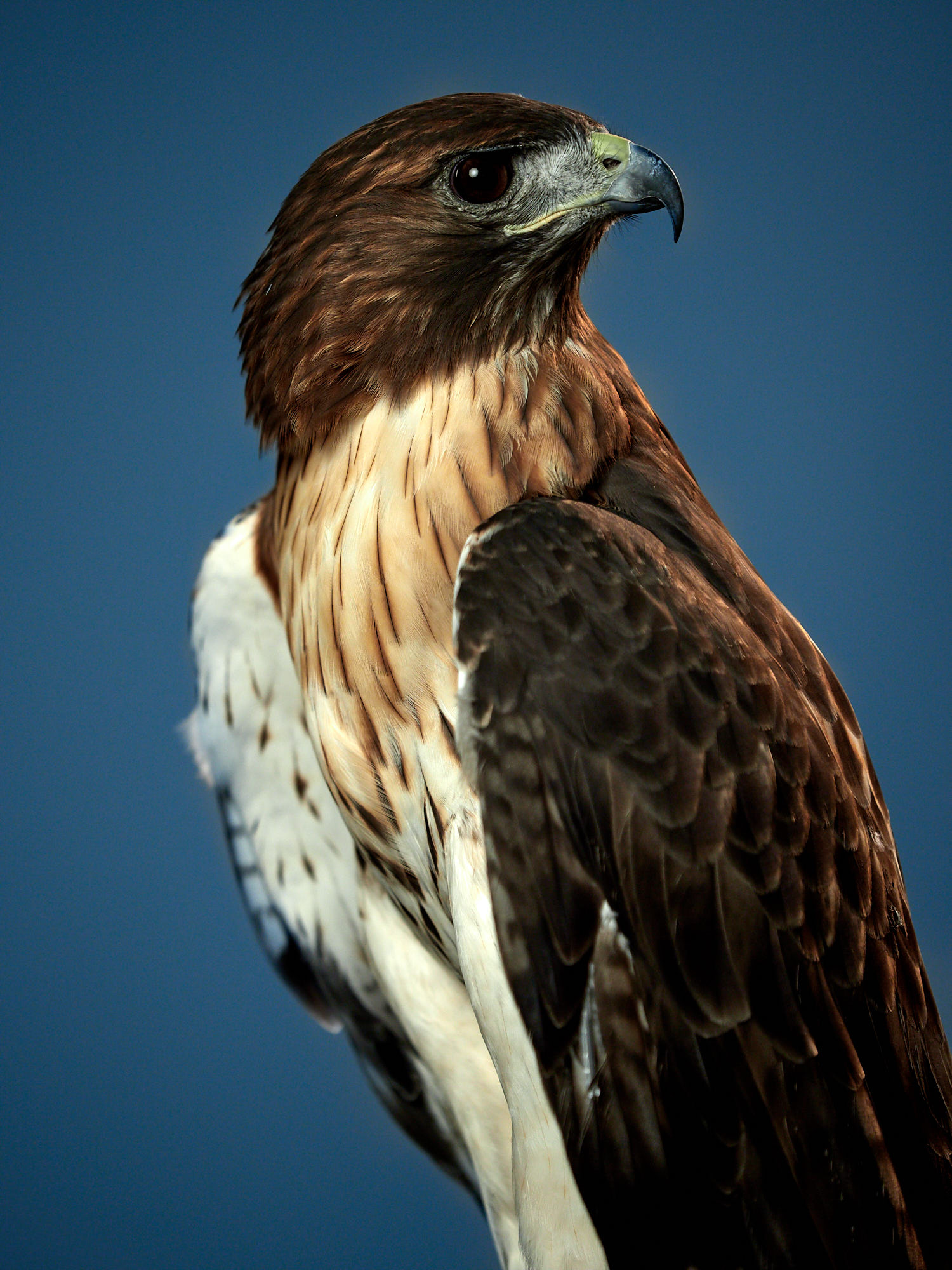 Red tail hawk in portrait in the studio straight out of camera.