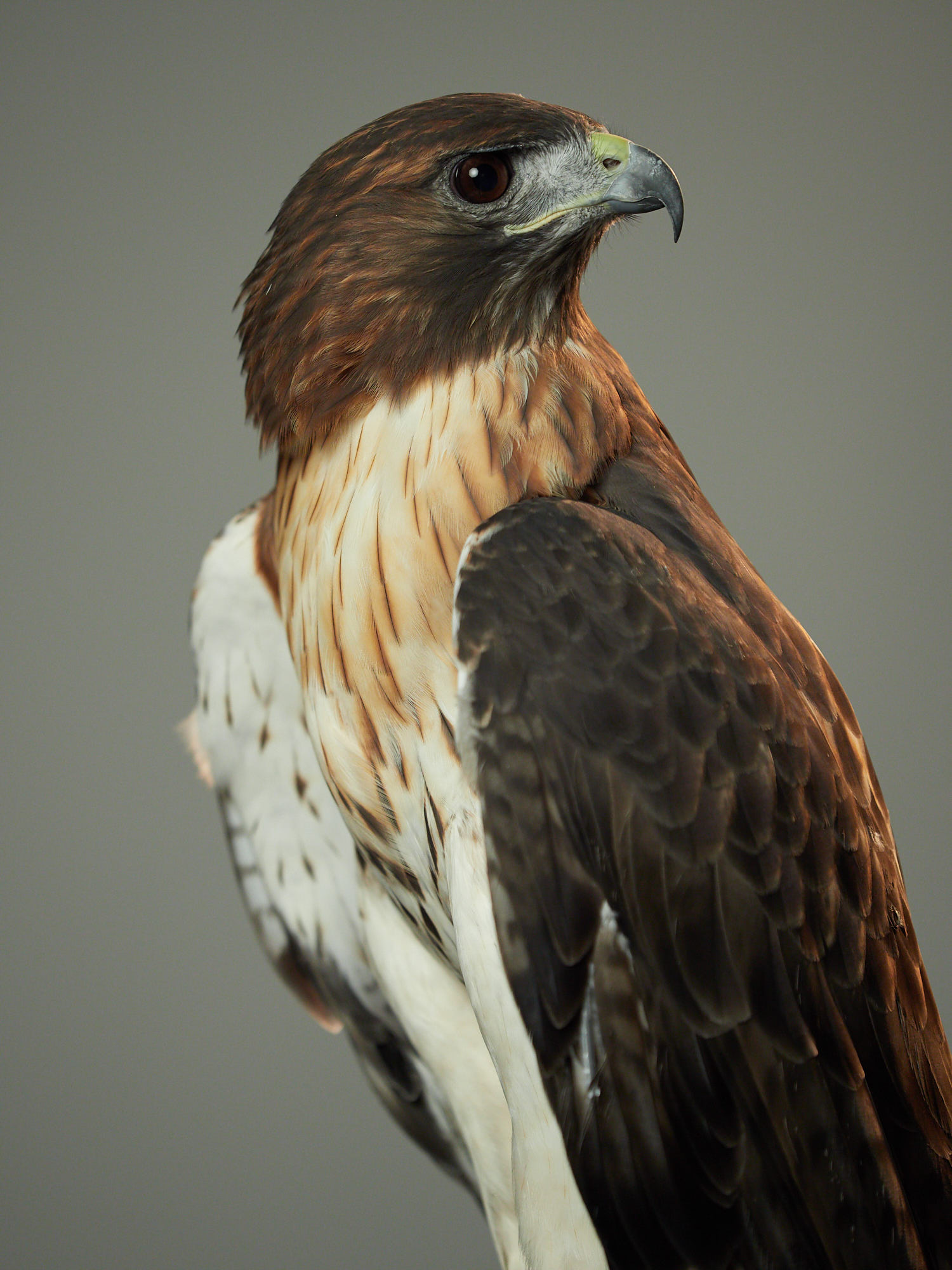 How do I change the background color in Capture One? Red Tail Hawk photo in the studio.